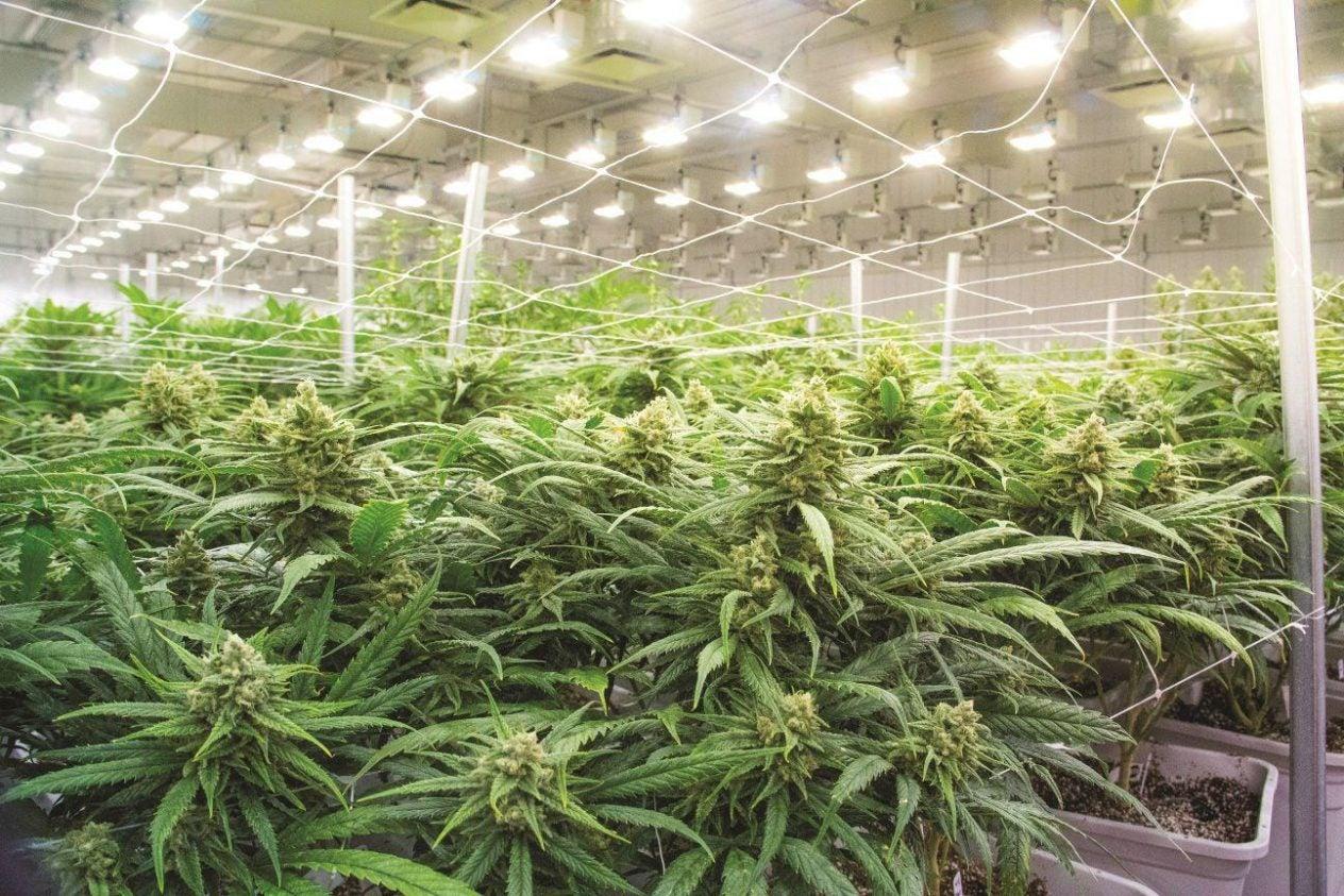 cannabisstock2